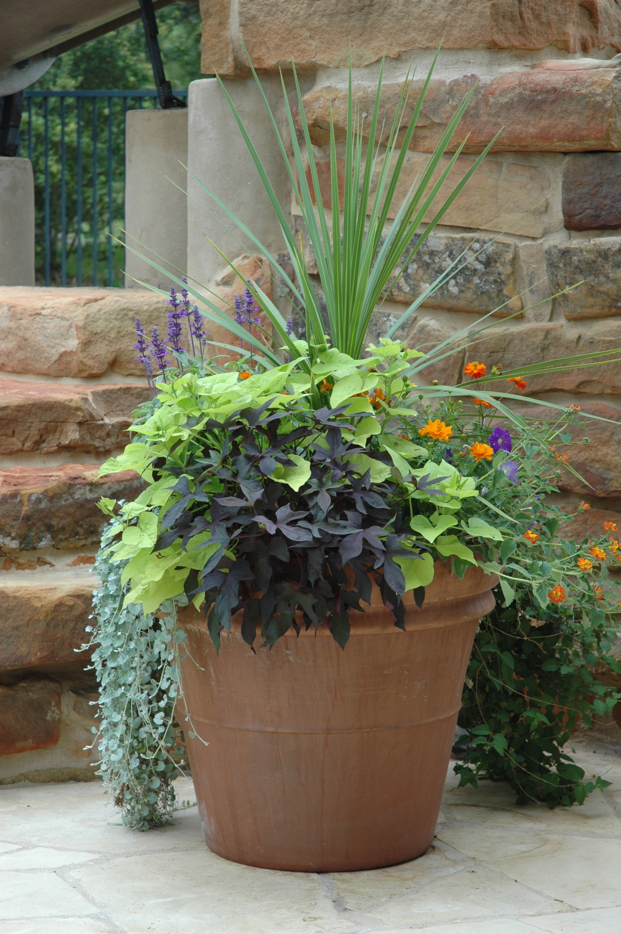 Sweet Potato Plant Container 2000 x 3008