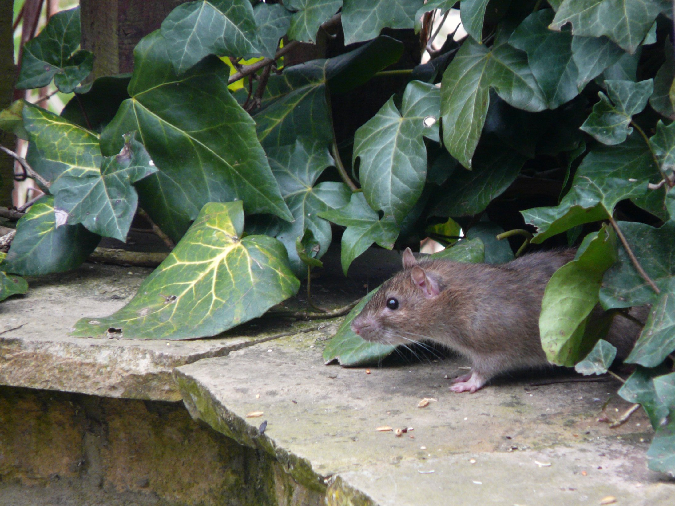 Superb Rat Urban Garden