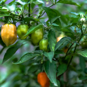 urban garden peppers